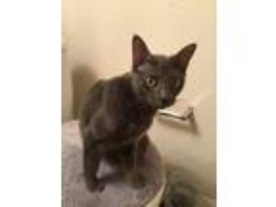 Adopt Grace a Gray or Blue Russian Blue / Mixed (short coat) cat in Dallas