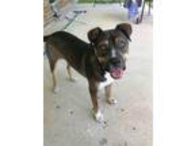 Adopt Jasper a Brindle Boxer / Mixed dog in Shreveport, LA (22448391)