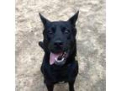 Adopt Bear a Black Chow Chow / Shepherd (Unknown Type) / Mixed dog in Ellijay