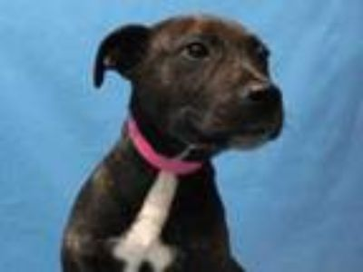 Adopt Layla a Brindle Terrier (Unknown Type, Small) / Mixed dog in Golden