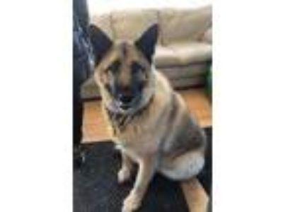 Adopt Bertha a Black Akita / German Shepherd Dog / Mixed dog in West Allis