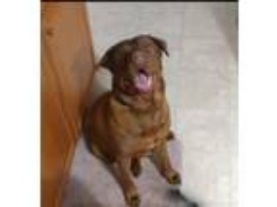 Adopt Thor a Brown/Chocolate American Pit Bull Terrier / Labrador Retriever dog