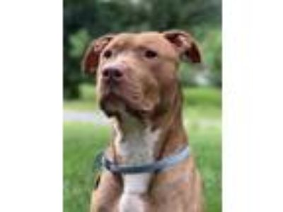 Adopt Butch a Tan/Yellow/Fawn American Pit Bull Terrier / Mixed dog in