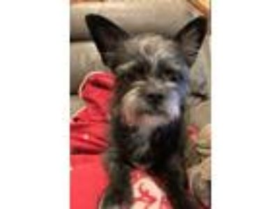 Adopt Tink a Wirehaired Terrier, Terrier