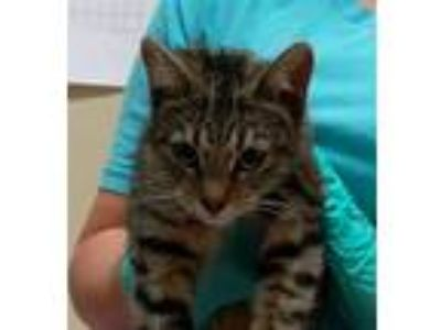 Adopt Daisy a Domestic Shorthair / Mixed cat in Oceanside, CA (25909082)
