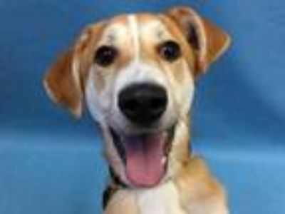Adopt DJ a Tan/Yellow/Fawn Labrador Retriever / Mixed dog in St.