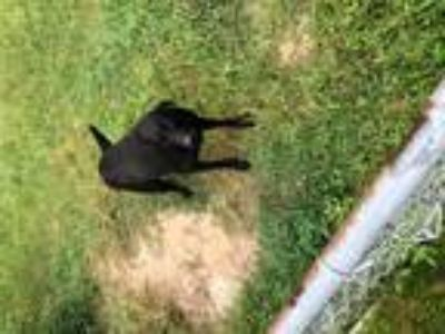 Adopt Willie a Black Labrador Retriever / Mixed dog in Perry, GA (23335322)