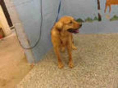 Adopt ROSIE a Tan/Yellow/Fawn - with Black German Shepherd Dog / Mixed dog in