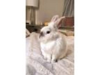 Adopt Sprinkle a White Lionhead / Mixed (short coat) rabbit in Los Angeles