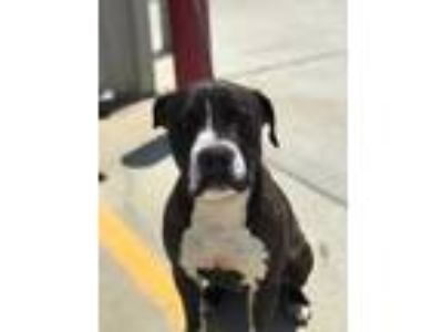 Adopt Rocks a Black American Pit Bull Terrier / Mixed dog in Sanger