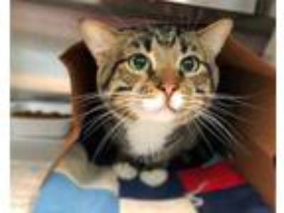 Adopt TUCKER a Brown Tabby Domestic Shorthair / Mixed (short coat) cat in St.