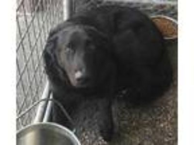 Adopt Midnight a Black Labrador Retriever / Mixed dog in Selma, CA (25494577)