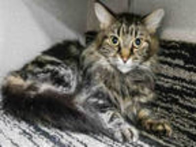 Adopt DUDI a Brown Tabby Domestic Longhair / Mixed (long coat) cat in Dallas