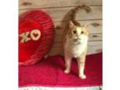 Adopt Cheeto a White (Mostly) American Shorthair (short coat) cat in