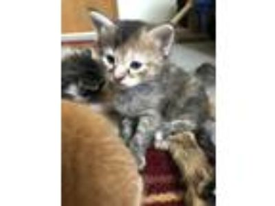 Adopt Gilly a Brown or Chocolate Domestic Shorthair / Domestic Shorthair / Mixed