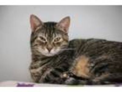 Adopt Pooky a Tabby, Domestic Short Hair