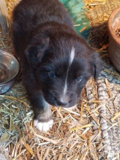 Australian Shepherd PUPPY FOR SALE ADN-62378 - Registered Australian Shepherd Puppies