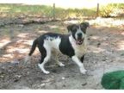 Adopt Belle a White - with Black Basset Hound / Mixed dog in Hartwell