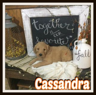 Cassandra female Goldendoodle 330-826-1882 text or call