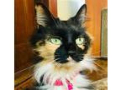 Adopt a Calico or Dilute Calico Domestic Longhair / Mixed (long coat) cat in