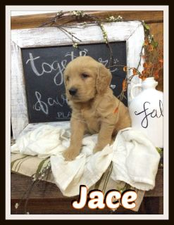 Jace Male Goldendoodle 330-826-1882 Text or Call