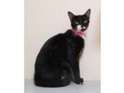 Adopt STORM a Black & White or Tuxedo Domestic Shorthair / Mixed (short coat)