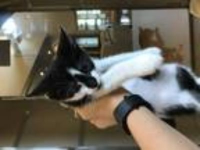 Adopt Diamond Cat a Domestic Short Hair