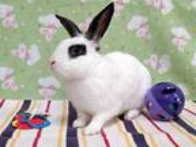 Adopt a White Other/Unknown / Mixed rabbit in Martinez, CA (25244801)