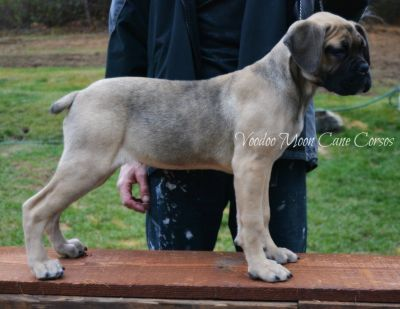 Gorgeous Fawn Cane Corso Female