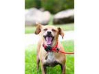 Adopt Rwanda a Red/Golden/Orange/Chestnut Dachshund / Beagle / Mixed dog in San