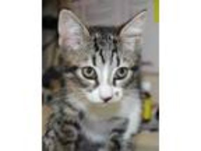 Adopt Berry a Gray or Blue Domestic Shorthair / Domestic Shorthair / Mixed cat