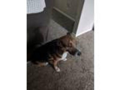 Adopt Juno a Brown/Chocolate - with White German Shepherd Dog dog in Gresham