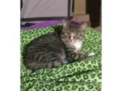 Adopt Puff Daddy (special Needs) a Domestic Shorthair / Mixed cat in Madison