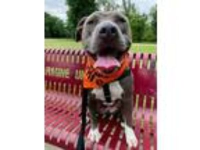 Adopt ROSIE a Gray/Silver/Salt & Pepper - with White American Pit Bull Terrier /