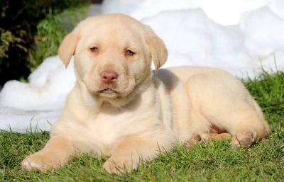 Labrador Retriever PUPPY FOR SALE ADN-71358 - Yellow Lab Puppy for Sale