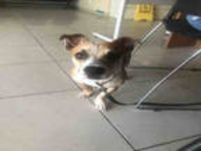 Adopt a Brown/Chocolate - with White Beagle / Rat Terrier / Mixed dog in Texas
