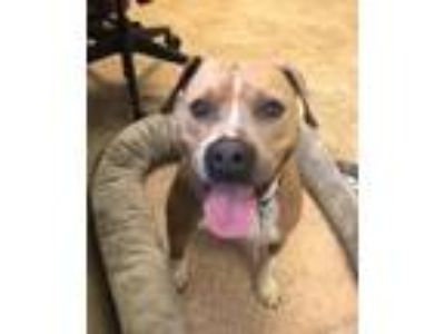 Adopt Juliet a American Staffordshire Terrier, Mixed Breed