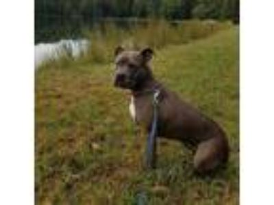 Adopt Fiona a Pit Bull Terrier