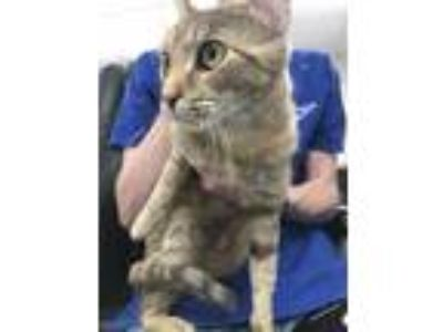Adopt Isabelle a Orange or Red American Shorthair / Domestic Shorthair / Mixed