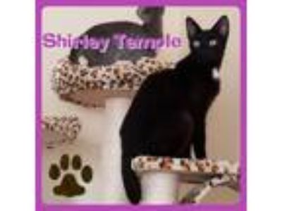 Adopt Shirley Temple a Manx