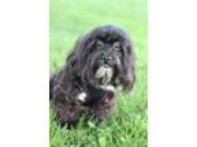 Adopt Watson a Black - with White Miniature Poodle / Shih Tzu / Mixed dog in New