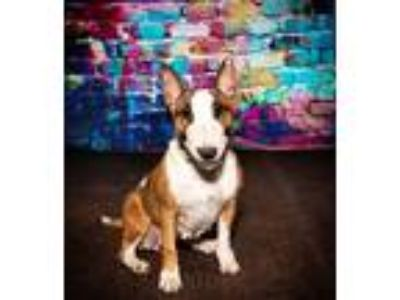 Adopt Peaches a Red/Golden/Orange/Chestnut - with White Bull Terrier / Mixed dog
