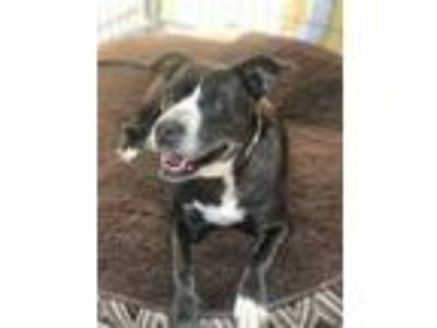 Adopt Rosalyn a Pit Bull Terrier, Mixed Breed