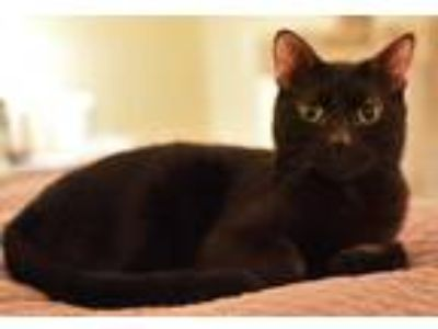 Adopt Kenji a All Black Domestic Shorthair / Mixed (short coat) cat in