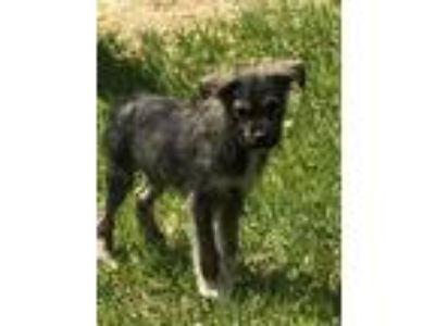Adopt Casey a German Shepherd Dog, Wirehaired Terrier