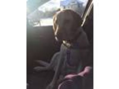 Adopt Baisa a Tan/Yellow/Fawn Labrador Retriever / Mixed dog in Ontario