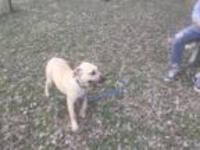 Adopt Riley a Tan/Yellow/Fawn - with White Retriever (Unknown Type) / Mixed dog
