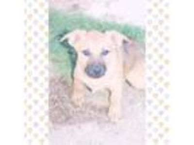 Adopt SUZI a Brown/Chocolate - with White Labrador Retriever / Shepherd (Unknown