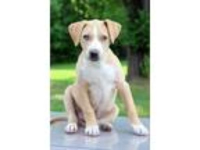 Adopt Quincy a Tan/Yellow/Fawn - with White Black Mouth Cur / Labrador Retriever