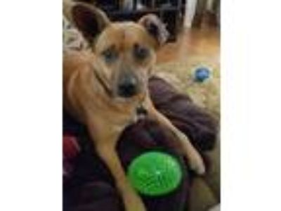 Adopt ODIE a Cattle Dog